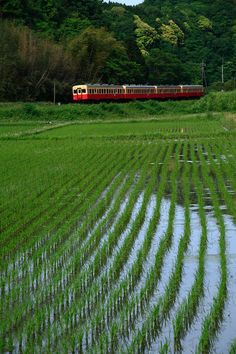 E0113. Kominato Line running in rice fields of Chiba, Japan. photo by ακιο