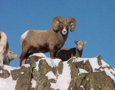 Ram with ewes Whitetail Deer Hunting, Hog Hunting, Nature Animals, Wild Animals, Big Deer, Big Horn Sheep, Colorado, Interesting Animals, All Gods Creatures