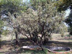 Ozoroa paniculosa.            Common Resin Tree          Gewoneharpuisboom           6 m        S A no 375