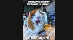 WHAT HAPPENS WHEN YOU GIVE A GUINEA PIG A CHERRY? HE TURN INTO SATAN