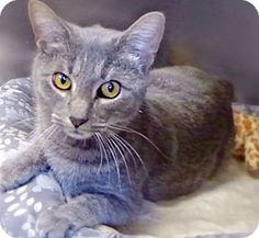 Westampton, NJ - Domestic Shorthair. Meet C-63345 Emma, a cat for adoption. http://www.adoptapet.com/pet/12582393-westampton-new-jersey-cat