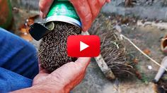 While out looking for food, this poor young hedgehog got himself stuck in an empty tin can!  Thankfully, someone living nearby the hedgehog's nest heard some clamoring, and called on Wildlife Aid Foundations's (WAF) Simon Cowell to save the poor dear.