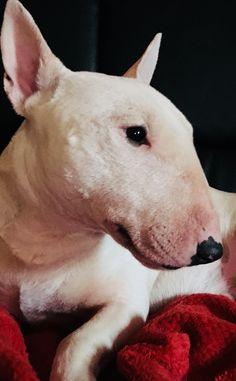 Miniature bull terrier;Lord jon Snow