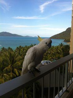 Cheeky visitors to the balcony - Hamilton Island, Holiday Resorts, Hamilton Island, QLD, 4803 - TrueLocal