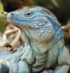 Blue Iguana (only found on the Caribbean Island Grand Cayman) Slithers Back from Extinction by Fred Burton. This is a male Grand Cayman Blue Iguana (Cyclura lewisi) at his peak. This reptile often grow to more than 5 ft in length and 25 lbs. Click The Pin Reptiles Facts, Reptiles Et Amphibiens, Mammals, Grand Cayman, Beautiful Creatures, Animals Beautiful, Animals And Pets, Cute Animals, Wild Animals
