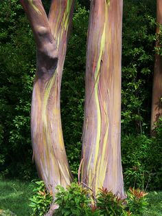 Rainbow Eucalyptus Trees along the Road to Hana - Maui, Hawaii - SO COOL! http://www.freebie-depot.com/10-free-things-to-do-in-maui/