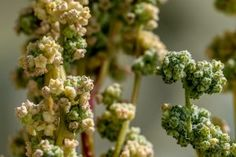 Quinoa genome has been sequenced enabling genetic improvements for cheaper production and increased food security