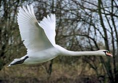 Free Photo: Swan, Fly, Wing, Mute Swan - Free Image on Pixabay - 73544