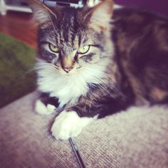 Dizzee, one of my Maine Coon cats