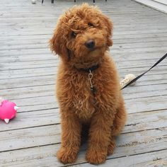 Finlee the Mini Goldendoodle...                                                                                                                                                                                 More