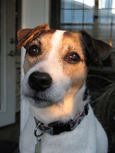 Sun shining on my JRTs face. Jack Russells are the best!!