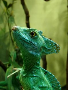 basiliscus plumifrons by Joachim S. Müller, via Flickr