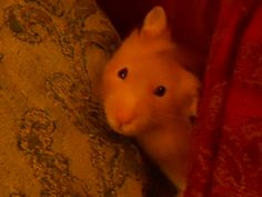 Name: Henry, Breed: Syrian hamster