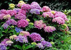 Hortensia, veel en lang kleur genieten