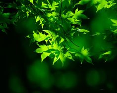 maple tree leaves as it is green turn to red when Fall comes Photo Video Montage, Photo Video App, Photo And Video Editor, Tree Leaves, Plant Leaves, Neon Green, Green Colors, Lime Green Wallpaper, Green Nature