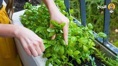 8 فوائد واستخدامات رائعة لبذور الر يحان الحبق Harvesting Basil Growing Basil Herbs