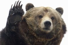 Grizzly waving