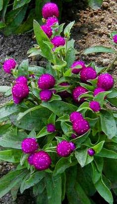 Explore Cornell - Home Gardening - Flower Growing Guides - Growing Guide gomphrena haageana Globe Amaranth, Flower Garden, Plants, Annual Plants, Lawn And Garden, Growing Gardens, Beautiful Flowers, Trees To Plant, Globe Flower