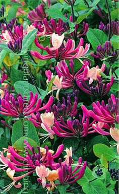 Honeysuckle Lonicera japonica 'Darts World. Look at the pretty colour!!!