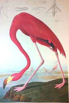 American Flamingo Giclee After #Audubon Painting - 1964 Reproduction Print #Realism #flamingo #bird #birds #decor #prints #toeslam