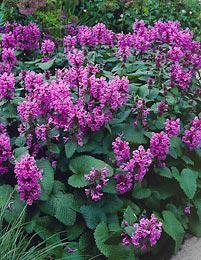 Jalopähkämö Tieteellinen nimi Stachys macrantha ´Superba´ Huomiota herättävä, komea vanhan ajan perenna, joka viihtyy aurinkoisella tai puolivarjoisalla paikalla. Jalopähkämö kukkii kesä-heinäkuussa purppuranpunaisin, suurin kukinnoin. Lehdet pysyvät koko kesän vihreinä, jopa kukinnan jälkeenkin. Kasvukorkeus on n. 40-50 cm ja talvenkestoltaan se on erittäin kestävä.