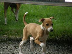 Italian Greyhound Dog Picture