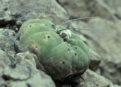 British Cactus & succulent Society - Matucana madisoniorum in habitat
