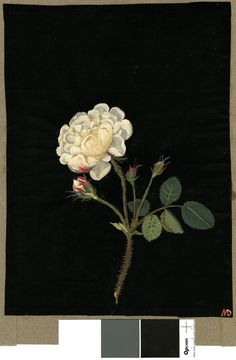 Rosa Gallica, from an album (Vol.VIII, 41); White rose. 1781 Collage of coloured papers, with bodycolour and watercolour, on black ink backg...     Mary Delany (British; Female; 1700 - 1788)