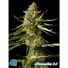 Amnesika 2.0 Feminised Seeds - http://www.cannabis-seeds-store.co.uk/feminised-seeds/philosopher-seeds/amnesika-2-0-feminised-seeds/prod_6304.html