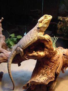 Bearded Lizard!  Want one so bad for my birthday!!!