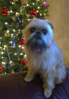 Brussels Griffon at Christmas