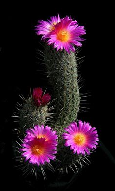 Thelocactus hastifer is a species of plant in the Cactaceae family. It is endemic to Mexico. Its natural habitat is hot deserts. Anderson, E.F., Fitz Maurice, W.A. & Fitz Maurice, B. 2002 Thelocactus hastifer 2006 IUCN Red List of Threatened Species Thelocactus hastifer Mexico - Queretaro Frost Tolerance: Hardy