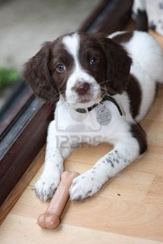 Love english springer spaniels - they're like fluffy snoopys! puppy