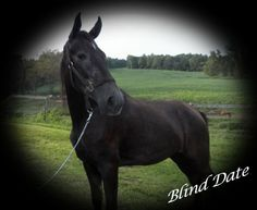 Blind Date - Grey  Tennessee Walking Mare in Greensburg, Kentucky 42743