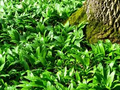 Amazing Herb Kills 98% Of Cancer Cells In Just 16 Hours