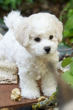 Nothing cuter or sweeter than a Bichon Frise puppy!  I think this breed is so cute.
