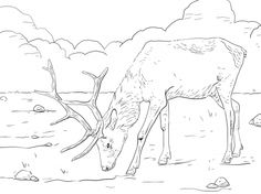 Manitobian Elk