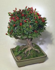 Best DIY tutorial on how to create a #bonsai with chili…