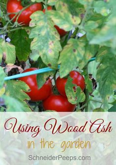 Did you know you could be using wood ash in the garden to deter pests and disease and build your soil? You can! Learn the do's and don'ts before you start.