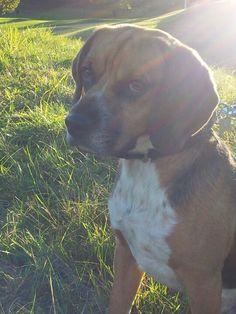 My beautiful beagle