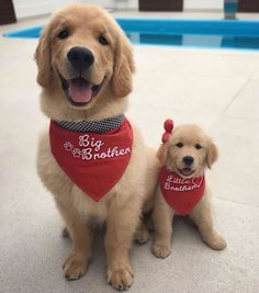 Golden Retriever Big and Little Brothers
