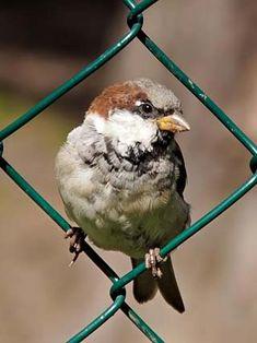 Varpunen, Passer domesticus - Linnut - LuontoPortti Sparrow