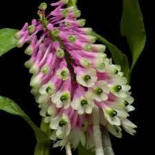 Image result for Dendrobium smilliae