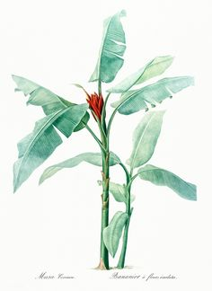 Scarlet banana illustration from Les liliacées (1805) by Pierre-Joseph Redouté. Original from New York Public Library. Digitally enhanced by rawpixel. | free image by rawpixel.com Plant Illustration, Botanical Illustration, Scarlet, Fire Lily, Flower Catalogs, Lady Slipper Orchid, African House, Banana Flower, Solomons Seal