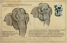 Tembo - How to draw elephants packet I created for the crew. Find more at https://www.facebook.com/CharacterDesignReferences if you ar looking for: #art #character #design #model #sheet #illustration #best #concept #animation #drawing #archive #library #reference #anatomy #traditional #draw #development #artist #animal #animals #elephants