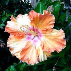 Peach/Orange Hibiscus