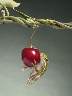 ~~cherry picker ~ tree frog by Bob Garas~~ by teresa.latcham.1
