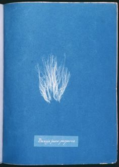 Stunning Cyanotypes of Sea Algae by the Self-Taught Victorian Botanist Anna Atkins, the First Woman Photographer and a Pioneer of Scientific Illustration Atkins, Memento Mori, Bleu Cyan, Collages, Cyanotype Process, Monochrome, Camera Lucida, Sun Prints, Alternative Photography