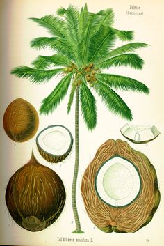 Vintage Coconut Palm Tree Illustration