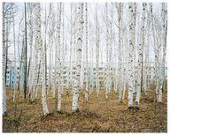 Alexander Gronsky. I love birches!